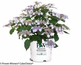 Container Gardener - tiny tuff stuff mountain hydrangea hydrangea serrata images proven winners