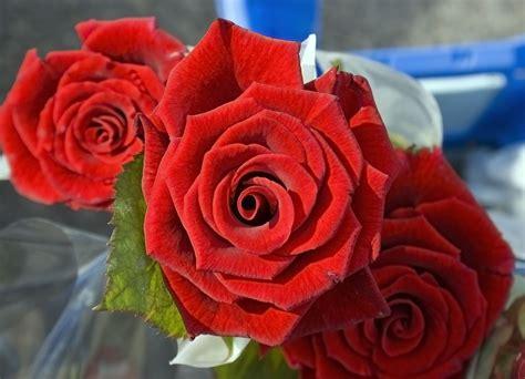 imagenes de flores rosas rojas foto de rosas rojas imagen de rosas rojas gigante