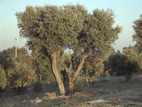 Tree L by Olea Europaea Common Olive