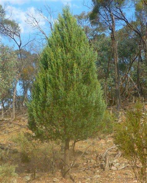 australian trees vi cypress pines