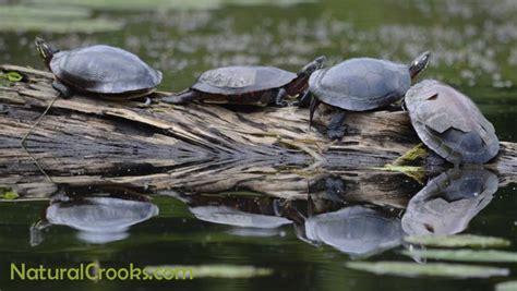 Turtles Shedding by Midlandpainteds Crooks Ramblings