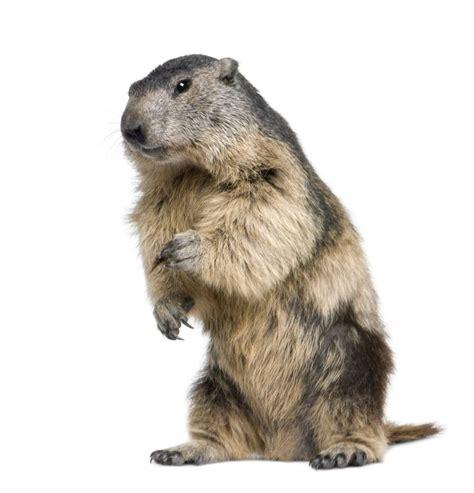 google images animals marmota png google search sb m pinterest best