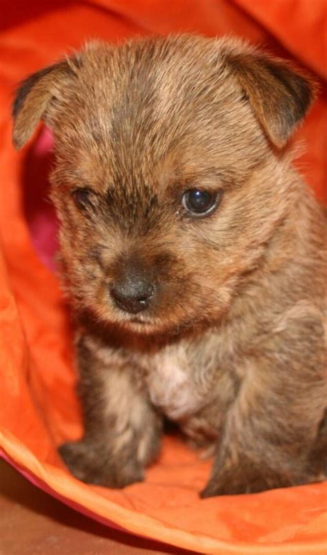 norwich terrier puppy norwich terrier norwich terriers