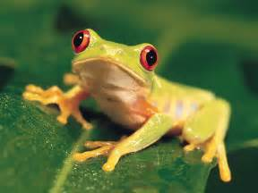 colorful frog animals colorful eyed tree frog picture nr 39896