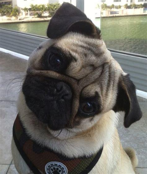 confused pug confused pug dedicated to my pug