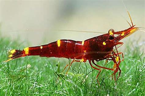 Yellow Shrimp yellow cheek sulawesi shrimp caridina spinata bucephalandra export import plants fish