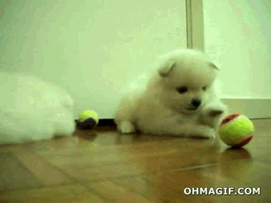 pomeranian air swimming pomeranian archives gifs and animated gifs