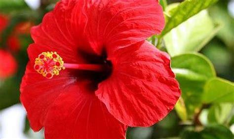 info lengkap tanaman hias international keindahan dan manfaat bunga kembang sepatu