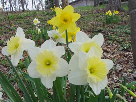 daffodil varieties flickr photo sharing