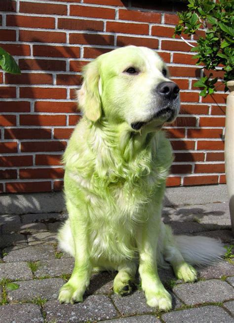 golden retriever with green this is why you don t let your roll around in freshly cut grass mandatory