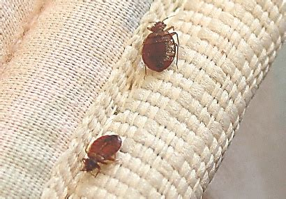 getting high off bed bugs dry cleaning and bed bugs white way