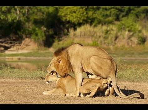 Pictures Of Animal Behavior animals in the animal behavior lions mating