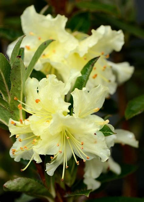 patio rhododendron 171 best images about flor de rhododendron on