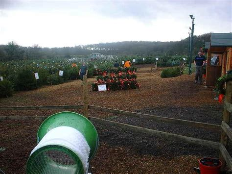 visit christmas tree farm chesham london christmas trees uk