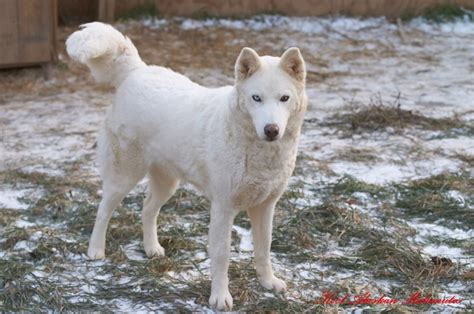 white siberian husky puppy 65 beautiful white siberian husky pictures and images