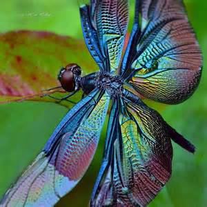 dragonfly colors dragonfly insect animal science follow