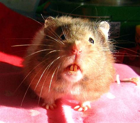 physical characteristics healthy hamster