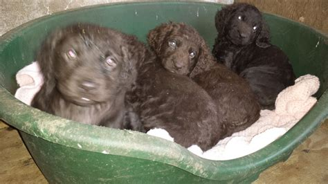 water spaniel puppies water spaniel cocker spaniel puppies lockerbie