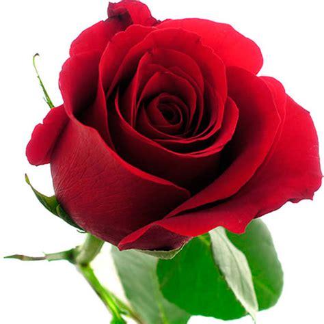 imagenes wasap rosa rosas preciosas jpg 800 215 800 flores pinterest
