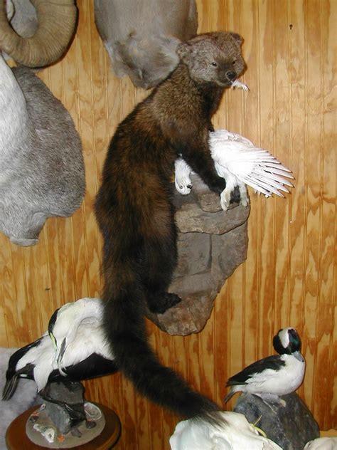 lifesize taxidermy mounts gallery wall  jersey taxidermist