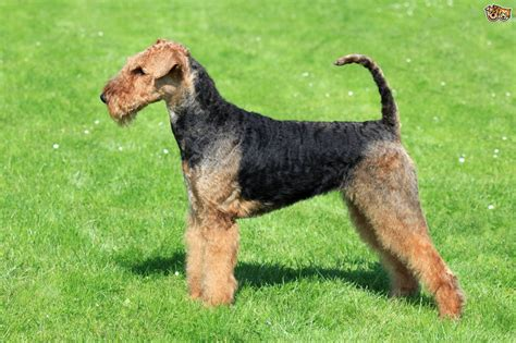 Health issues commonly seen in the Airedale terrier
