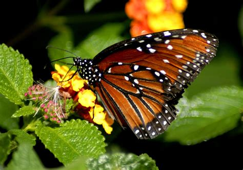Butterfly Cycle The Caterpillar Picture Of