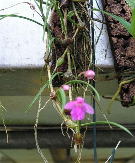 Orchideen Samen Kaufen 1029 orchideen samen kaufen wei e orchideen kaufen wei e