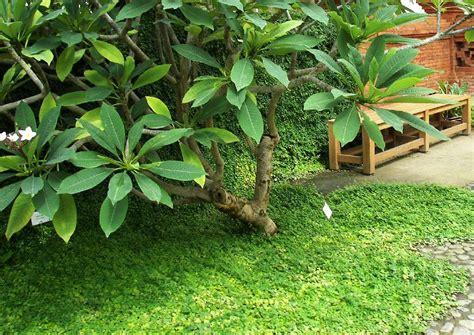 tropischer garten ficus pumila kletterfeige bodendecker tropischer garten