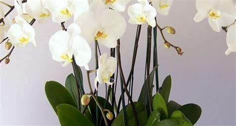come far fiorire orchidea piante di orchidee orchidee piante orchidee