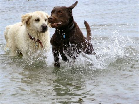 chocolate lab and golden retriever chocolate lab and golden retriever breeds picture