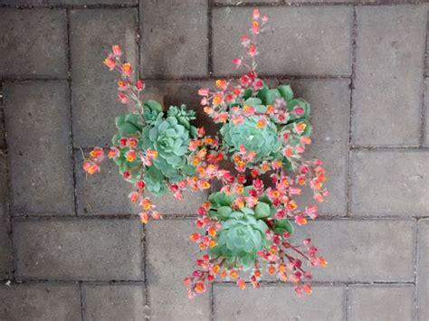pianta grassa con fiore rosa piante grasse con fiori rosa