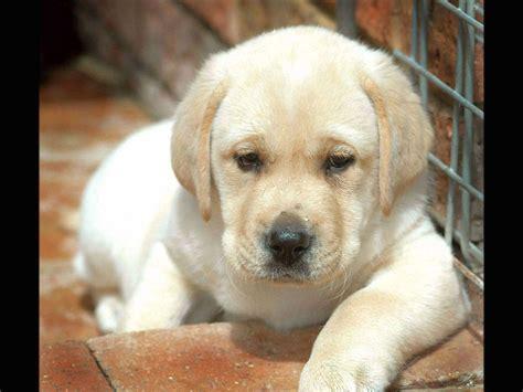 golden retriever puppies for free golden retriever puppies wallpaper hd 28 free wallpaper hivewallpaper