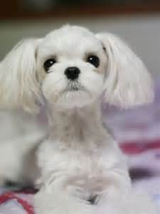 haircut ideas for hair dogs best 25 dog haircuts ideas on pinterest maltese haircut