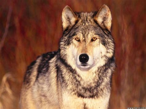 imagenes surrealistas de lobos fondos de lobo fondos de pantalla de lobo animales