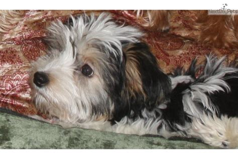 havanese puppies for sale in michigan dogs havanese dogs breeds picture