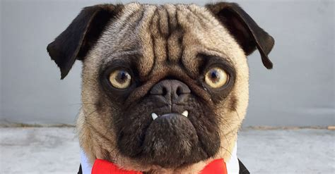 a picture of a pug angry pug picture