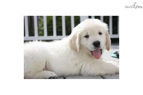 southern gold golden retrievers puppies for sale from signature gold golden retrievers member since january 2008