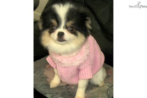 pomeranian puppies for sale in ma pomeranian puppy for sale near boston massachusetts 1ccd9fd8 5fe1