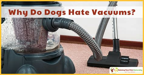 why do dogs your why do dogs vacuums stop your from barking at the vacuum cleaner raising