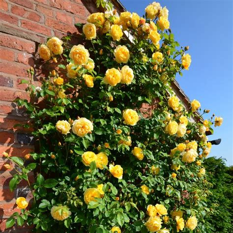 Climbing Yellow 7 best small yellow climbing roses wall images on