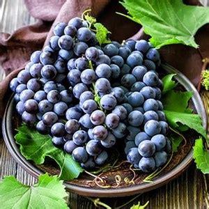Dijamin Jual Bibit Tanaman Anggur Bibit Anggur jual buah segar anggur hitam autumn royal distributor