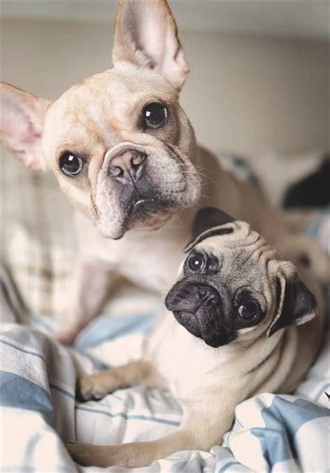 pug bulldog puppies pug puppy bulldog puppy