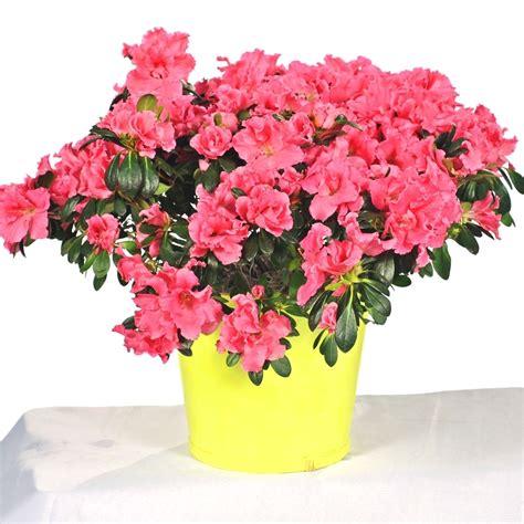 coltivare azalee in vaso azalea piante da giardino coltivazione azalea