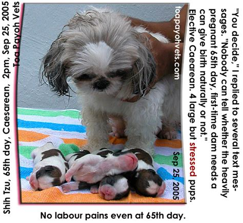 shih tzu pregnancy calculator shih tzu gestation assistedlivingcares