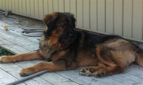 leonberger rottweiler mix belgian malinois rottweiler mix breeds picture