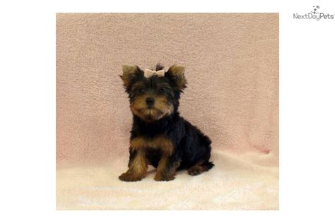 brown yorkie brown and black breeds breeds picture