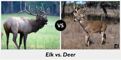 Deer Vs difference between elk and deer