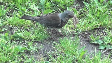 bird eating worm youtube