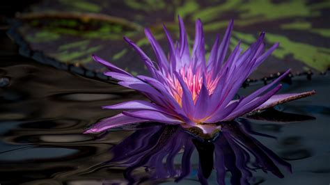 flower petals water hd wallpaper 1814076 water flowering purple petals wallpaper 1920x1080