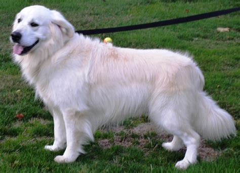 golden retriever breeders oregon t perkin goldens golden retriever breeder molalla oregon